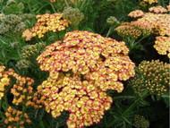 "Tricolor Yarrow - Achillea millefolium - 4"" Pot - Thrives in Poor Soil & Sun"