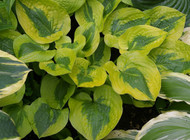 "Glad Rags Hosta - Bright Yellow with Dark Green Center - 4"" Pot"