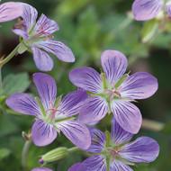 "Fay Anna Geranium - Lavender Blooms - Cold Hardy - 4"" Pot"