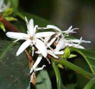 "Arabica Coffee Bean Plant - 4"" pot - Grow & Brew Your Own Coffee Beans"