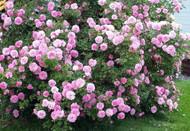 "John Davis Climbing Antique Heirloom Rose - Super Hardy - 2.5"" Pot"