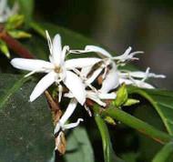 "Hirt's Arabica Coffee Bean Plant - 6"" Pot + Decorative Pot Cover"