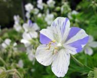 "Delft Blue Hardy Cranesbill Geranium - 4"" Pot - New Variety!"