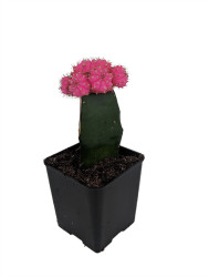 "Pink Grafted Moon Cactus - Easy to Grow - 2"" Pot - Live Plant"