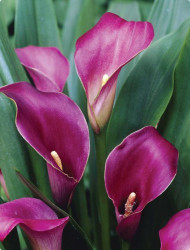 Purple Sensation Calla Bulb 14/16cm