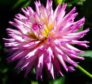 Winter Springs Cactus Dahlia - Striking Bicolor - #1 Size Root Clump