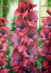 Lumierre Large Flowering Gladiolus 10 Bulbs - 12/14 cm