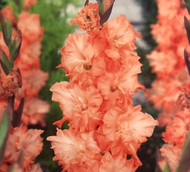 Charkov Parrot Gladiolus 10 Bulbs 10/+ cm - Ruffled Flowers