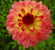 Lake Tahoe Decorative Dahlia - Salmon/Yellow/Red - #1 Size Root Clump
