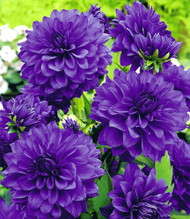 Blue Bell Decorative Dahlia - The Best Purple-Blue! - #1 Size 1 Root Clump
