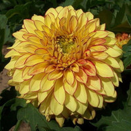 Lake Ontario Decorative Dahlia - Yellow Edged in Red - #1 Size Root Clump