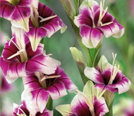 Adrienne Glamourglad Gladiolus 10 Bulbs - NEW! - Never Needs Staking - 12/+ cm