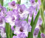 Blues Gladiolus 8 Bulbs - 14/+ cm