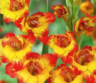Alana Glamourglad Gladiolus 10 Bulbs - NEW! - Never Needs Staking - 12/+ cm