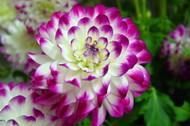 Who Dun It Decorative Dinnerplate Dahlia - 1 Top Size Root Clump