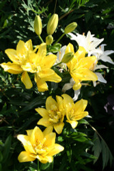 Fata Morgana Asiatic Lily - 3 Bulbs - Sunny Yellow Double Blooms - 14/16cm