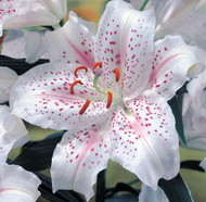 Muscadet Oriental Lily 2 Bulbs 16/18 cm - Frilly White Edges!