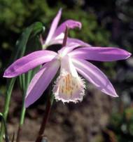 Formosa Peacock Orchid - 1 Bulb - Pleione formosana - Rare Hardy Orchid