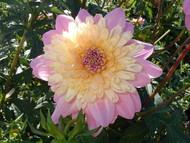 Lambada Powder-Puff Dahlia -  #1 Size Root Clump - Soft Rosy Hues