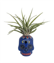 "Blue Sugar Skull Ceramic Planter with Live Tillandsia Air Plant - 3"" x 3"""
