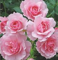 Bonica® Shrub Rose Bush - Bareroot - World's Favorite Rose