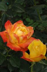 Judy Garland Floribunda Rose - Bareroot - Chrome Yellow/Hot Orange/Scarlet