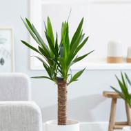 "Elephant Foot Yucca Plant - House Plant/Bonsai - 4"" Pot"