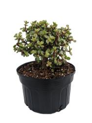 "Creme & Green Mini Jade Plant - Portulacaria afra - 8"" Pot"