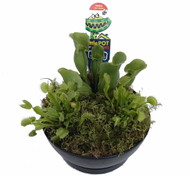 Carnivorous Garden with 3 Live Plants - 2 Fly Traps, Pitcher Plant + Live Moss