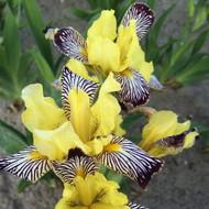 """Golden Zebra Iris Plant - Iris versicolor - Yellow & Brown Flower -  4"""" Pot"""