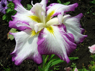 """Nessa No Mai Japanese Iris ensata - Violet,White,Touch of Yellow - 4"""" Pot"""