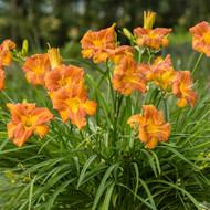 """Everydaylily™ Bronze® - Daylily Perennial - Hemerocallis - 4"""" Pot"""