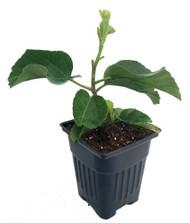 "Kade's Dark Heart Tropical Hibiscus Plant - 4"" Pot"
