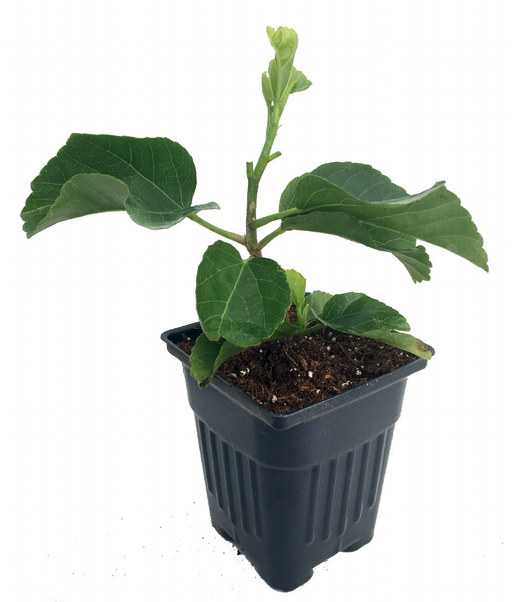 Eagle Feathers Tropical Hibiscus Plant 4 Pot Hirts Gardens