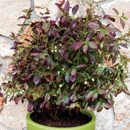 "Cabernet Splash™ Blueberry Plant - Bonsai/Patio/Outdoors - 4"" Pot"
