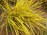 "Goldfinger Ornamental Grass Plant - Libertia ixioides - 4"" Pot"