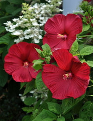 "Luna Red Giant Hardy Hibiscus - 4"" Pot"