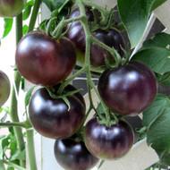 OSU Blue Tomato 4 Plants - The Worlds 1st Blue Tomato, Rare