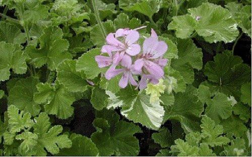 Snowflake Scented Leaf Geranium Citronella Mosquito Plant