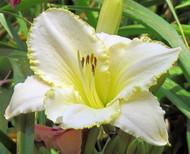 "Blizzard Bay Daylily Perennial - Hemerocallis - 4"" Pot"