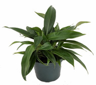 """Super Dwarf Little Phil Philodendron - Easy to Grow House Plant -6"""" Pot"""