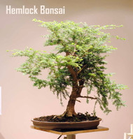 Canadian/Eastern Hemlock - Tsuga canadensis- Shrub/Tree/Bonsai - Quart Pot