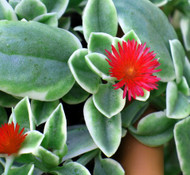 """Me Zoo Trailing Succulent Ice Plant - Dorotheanthus - Indoors/Out - 4"""" Pot"""