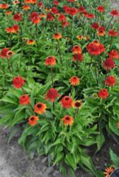 "Cone-Fections™ Sweet Chili Coneflower - Echinacea - 4"" Pot"