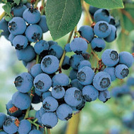 "Bluecrop Blueberry Plant - Large/Delicious/Midseason - 2.5"" Pot"