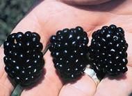 "Apache Thornless Blackberry Plant - 2.5"" Pot"