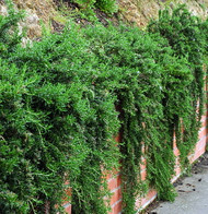 Cascade Rosemary Plant - Creeping/Trailing- Outstanding for Culinary - Quart Pot