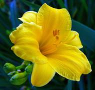 Stella D' Oro Daylily Perennial - Hemerocallis - Best Rebloomer - Quart Pot