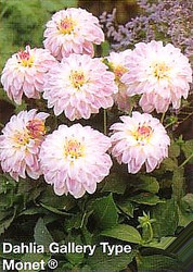 Monet Gallery Dahlia - Soft Lilac  - #1Top Size Root