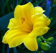 """Mini Stella Daylily Perennial - Hemerocallis - Great Rebloomer - 4"""" pot"""